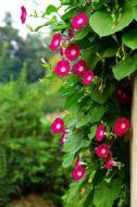 Ipomea, Morning Glory Scarlet 20 Seeds - Rapid Grower,Stunning Red Flowers